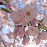 Sakura Season in Vancouver: A Photoset