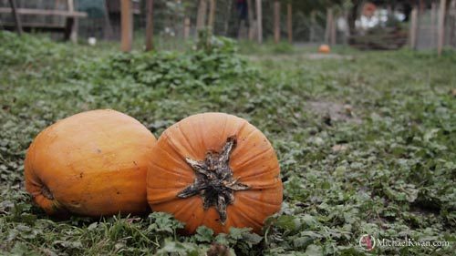 Local Tourist: Pumpkin Patch at Southlands Heritage Farm