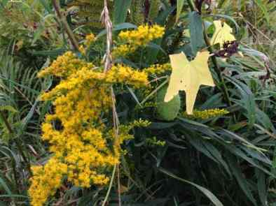 Golden Rod blooms at Canoe Meadows, the Mass Audubon sanctuary in Pittsfield. Photo by Kate Abbott
