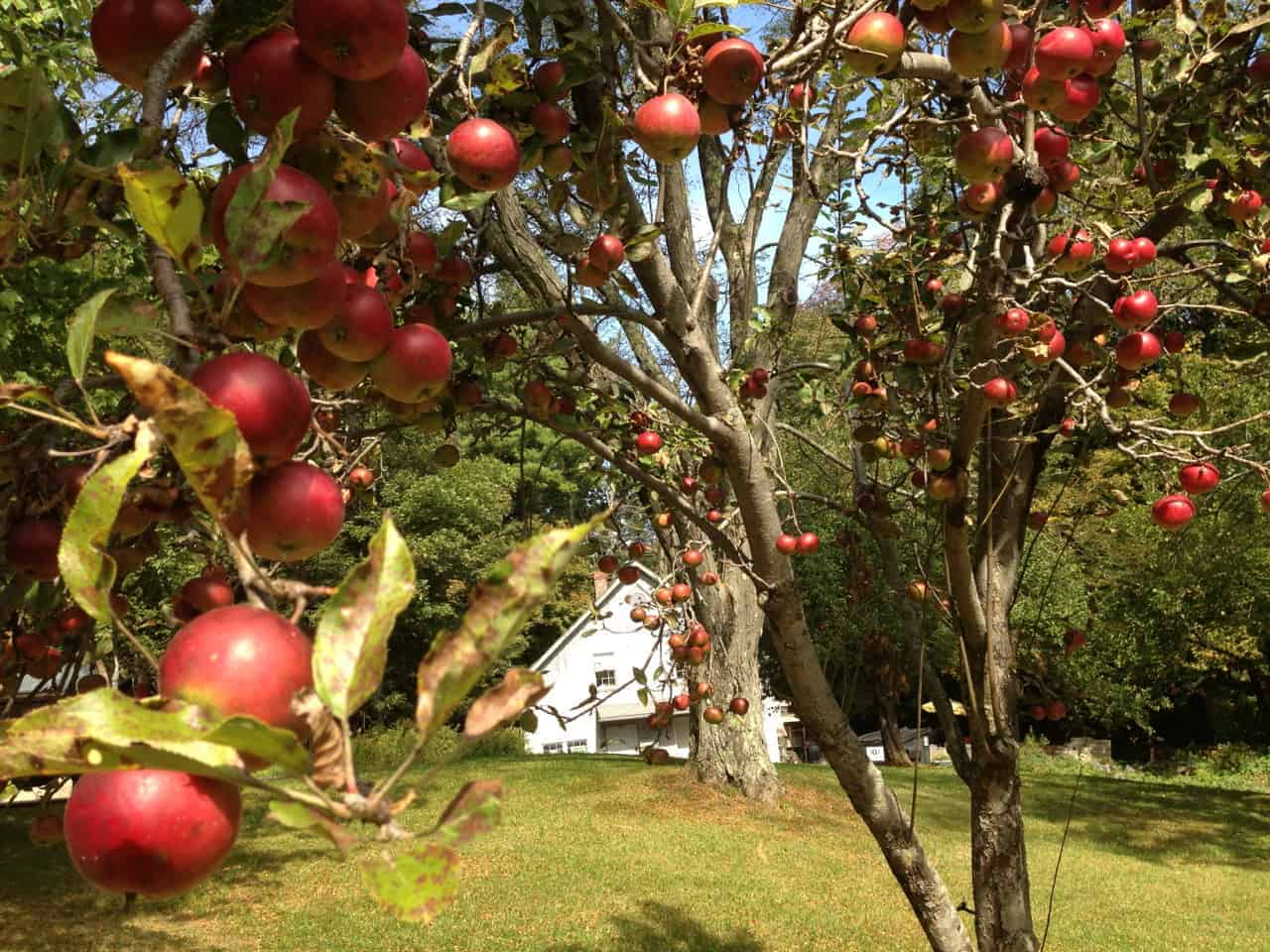 The trees by the picnic tables burst with apples. Photo by Kate Abbott