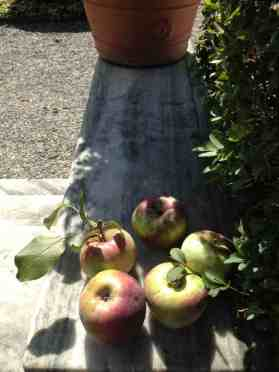 Ripe apples sit in the sun in French's garden. Photo by Kate Abbott