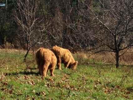 Highland heifers graze at Climbing Tree Farm in new Lebanon, N.Y. Photo by Kate Abbott