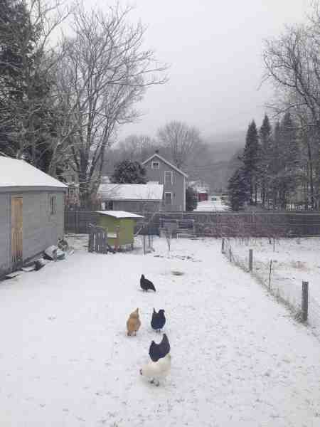 Chickens comment on a snowy morning. Photo by Kate Abbott