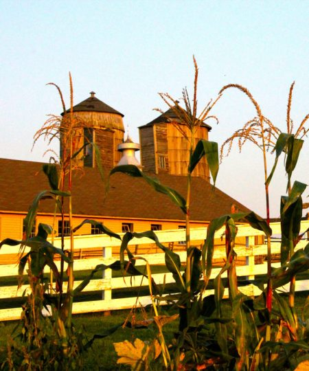 Afternoon light touches the corn tassles at Hancock Shaker Village. Photo by Susan Geller