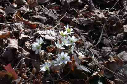 Hepatica open in the early spring when the sun warms the forest floor. Photo by Thom Smith