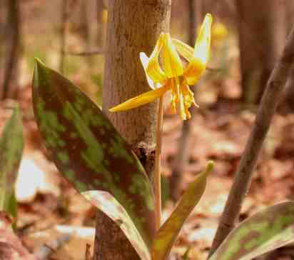 Trout lilies open yellow blossoms in late April to early May. Photo by Thom Smith