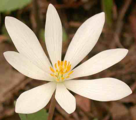 Deep in the thickets, white petals in green — Bloodroot's red sap, homeopathy unseen. Photo by Thom Smith