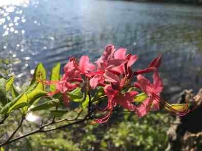 Azaleas open along the shore. Photo by Kate Abbott