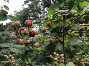 A few berries ripen at a time, darkening from green to red to black. Photo by Kate Abbott