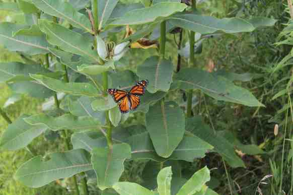 A monarch butterfly lights on a milkweed plant in a nearby meadow. Photo by Thom Smith
