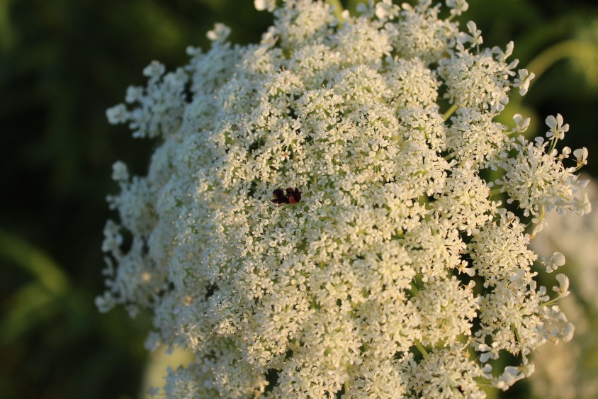 Quuen Anne's Lace often has one or two tiny purple blossoms among the white ones. Photo by Thom Smith