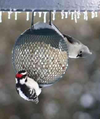 10. Tufted Titmouse — beside a Downy Woodpecker, a titmouse with its big black eyes is sharing a ball feeder. Another southern bird, the titmouse wasn't recorded in the Berkshires until New Year's Day, 1945. And they will eat most of the seeds above, including fruit and, along with downy woodpeckers, sugar water. Photo by Thom Smith