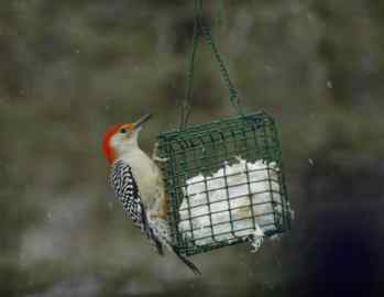 4. Red-bellied Woodpecker — is sometimes confused with the red-headed woodpecker, which has a completely red head. The reddish tint on their bellies is most noticeable during nesting season. Older bird guides tell us that they are southern birds. The first record of one in the Berkshires was in 1972. Since then they have increased. (BOSS, BOSSH, SFR, SUE, PNTH) Photo by Thom Smith