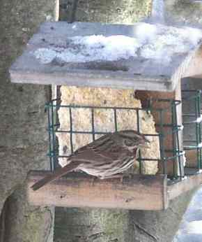 """7. Song Sparrow — is more a warm weather bird, but a few come early or stay late and even brave the Berkshire chill in mid-winter. This much-loved striped sparrow sings a song that with some imagination can be translated to """"Maids, maids, hang up your teakettle-lettle-lettle."""" (MLT, BOSS, BOSSH, MLT, CRN) Photo by Thom Smith"""