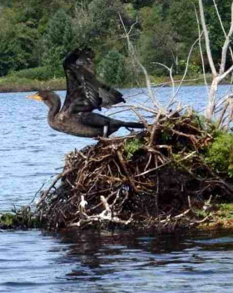 A cormorant spreads its wings — a common sight along the coast, but a often problematic nester in freshwater ponds and lakes in Vermont.