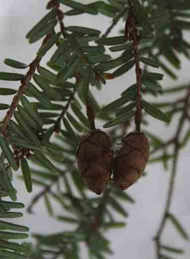 Three-quarter-inch cones hang from a branch, showing light colored stripes on the underleaf (needle).