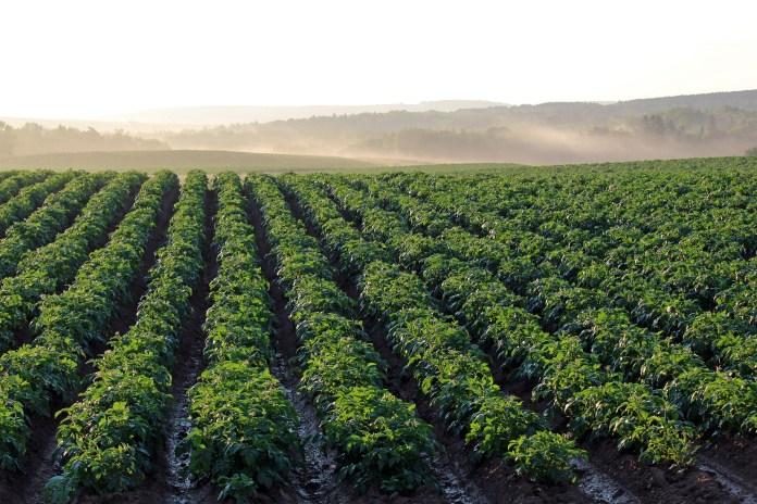 Aardappel Veld Aardappels Landbouw Ochtend Licht