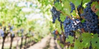 paarse druiven in wijngaard