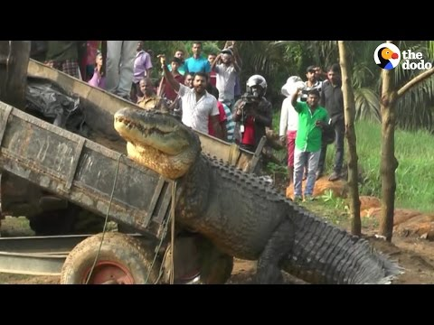 Even This Huge Crocodile Needs Love and Care