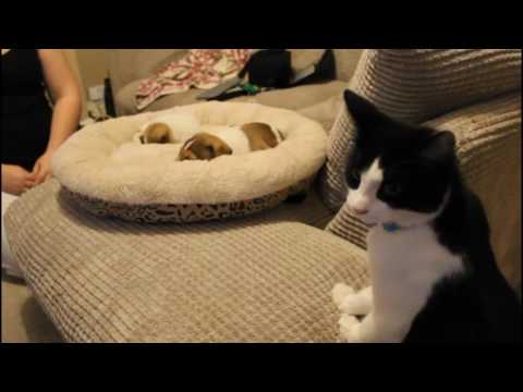 Cat Meets Puppies for the First Time!