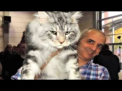 14 BIGGEST Cats In The World