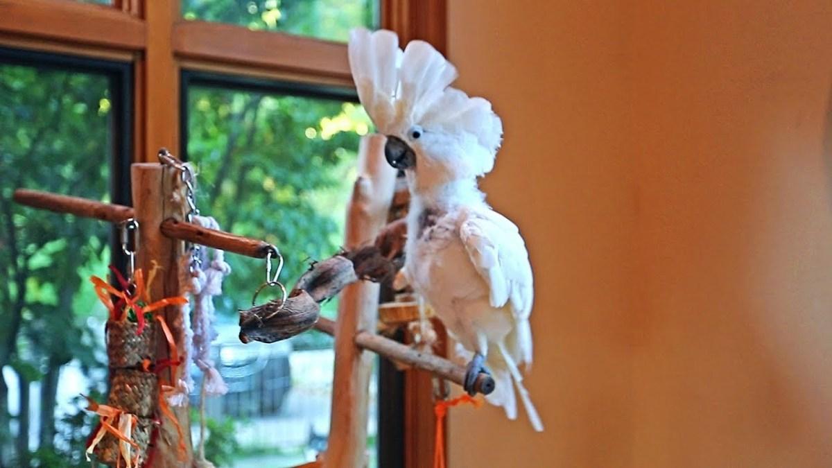 Funny Cockatoo