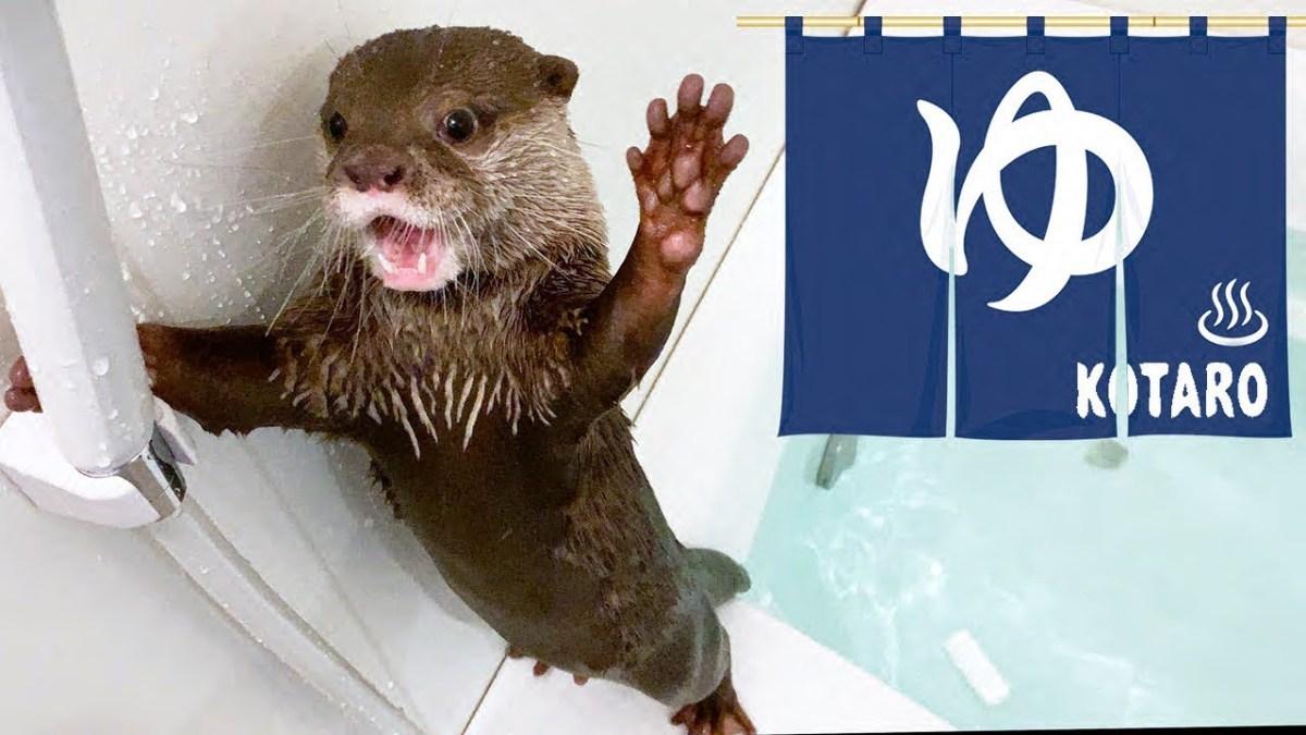 カワウソ  コタロー 相変わらず面白い水鉄砲リアクション Kotaro the Otter Funny Reaction to Water Shooter
