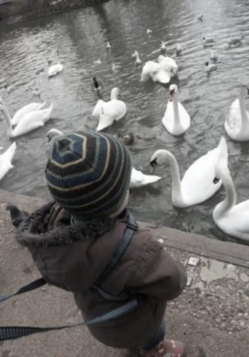 toddler feeding swans