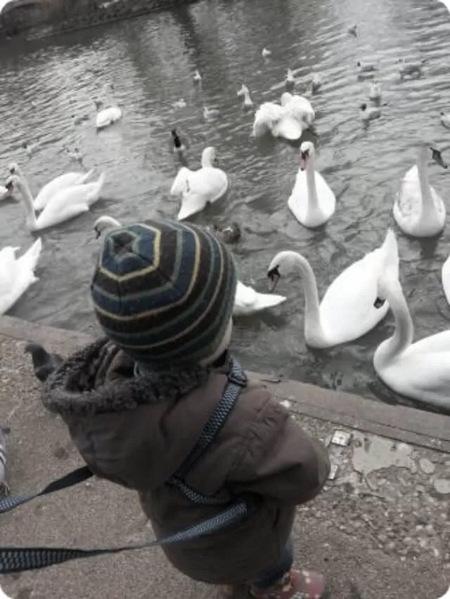 toddler feeding swans
