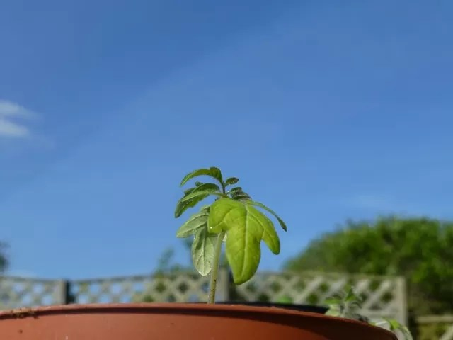 silent sunday tomato plant against the sky