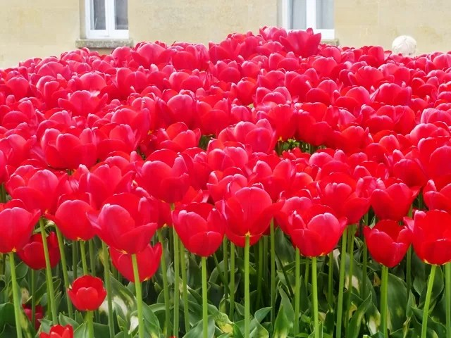 tulips at Blenheim