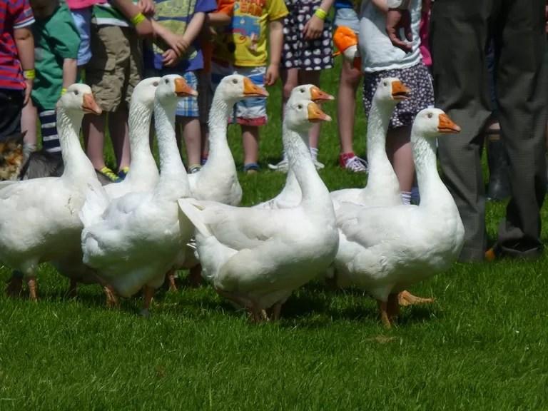 herding geese