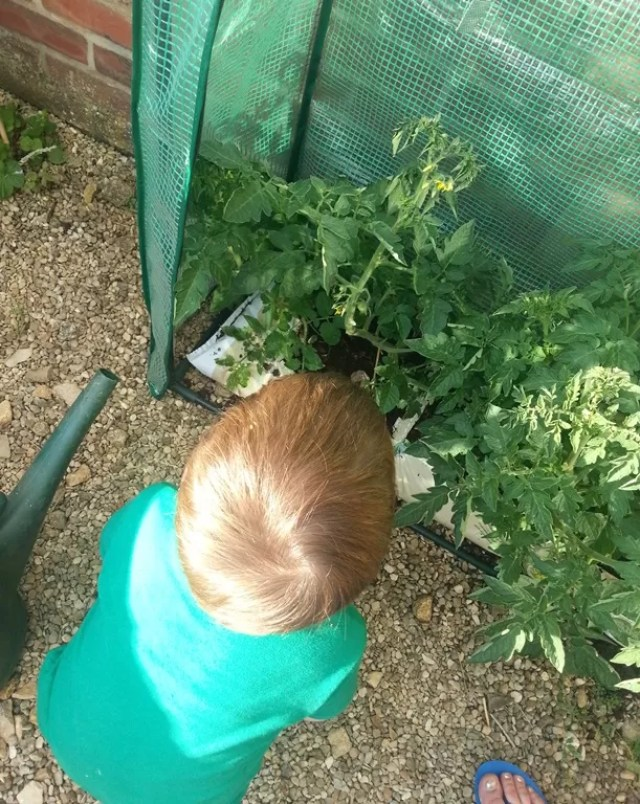 searching for tomatoes