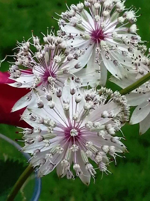 white allum flowers