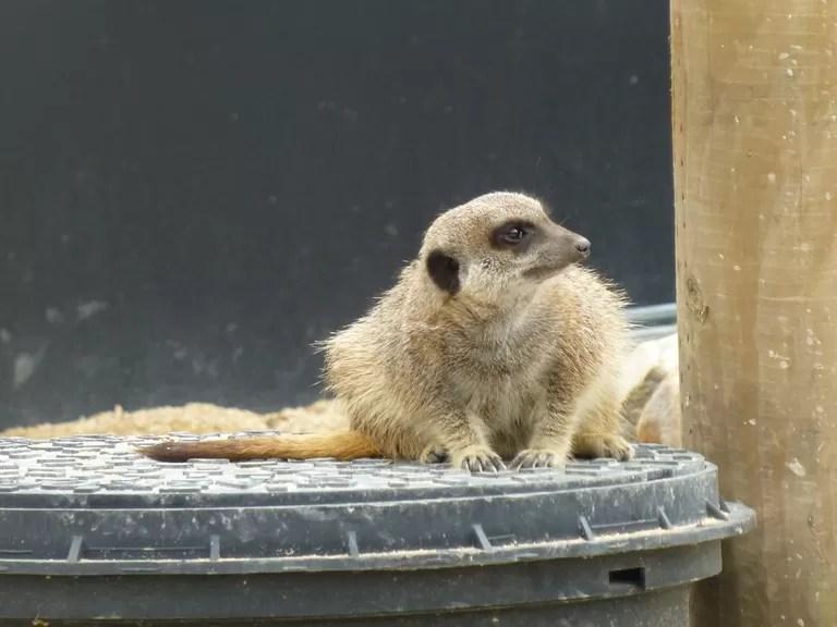 meerkat at all wild things