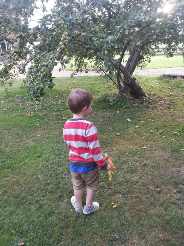 looking for apples