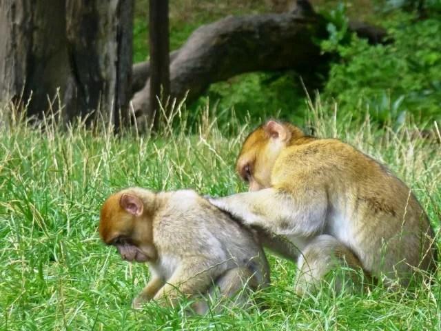 monkey back scratching - monkey forest