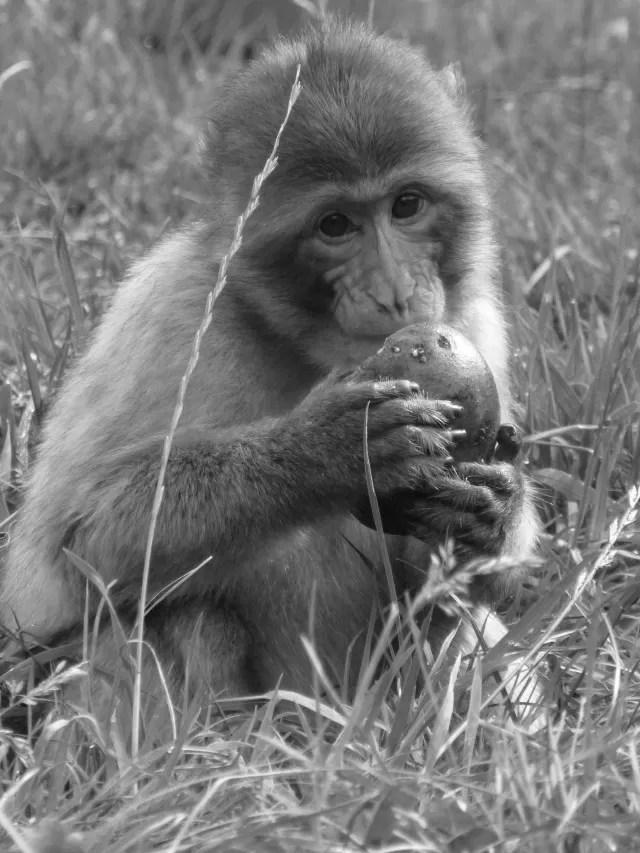 monkey eating - black and white