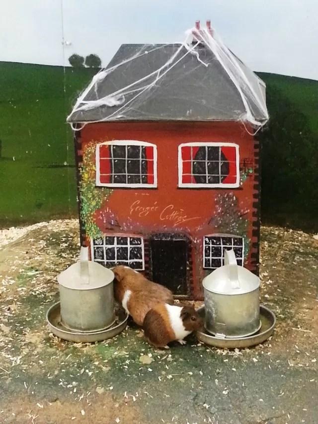 guinea pigs village