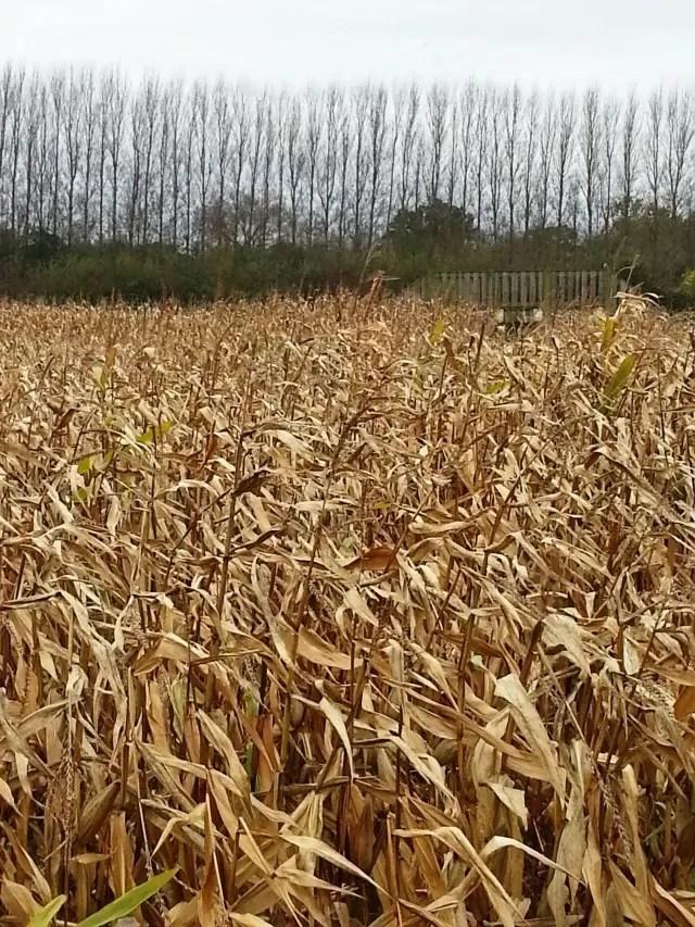 maize maze at hatton
