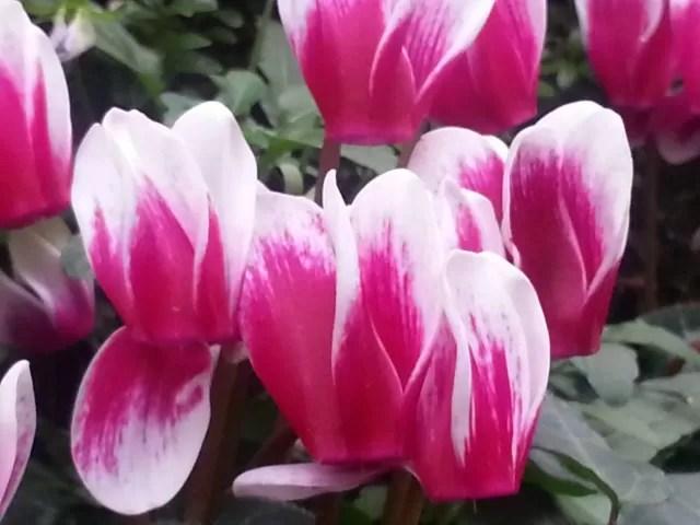 Mini tulips in London