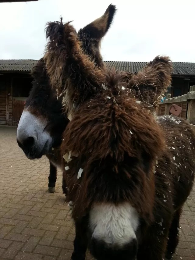 poitous donkeys at Redwings
