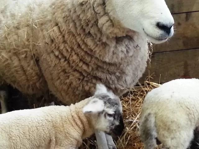 lamb and mum