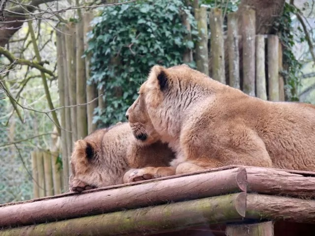 lions at paignton zoo