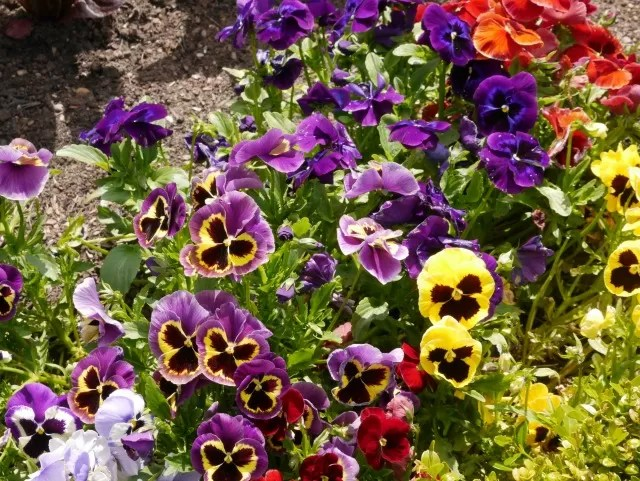 pansies at Trentham Gardens