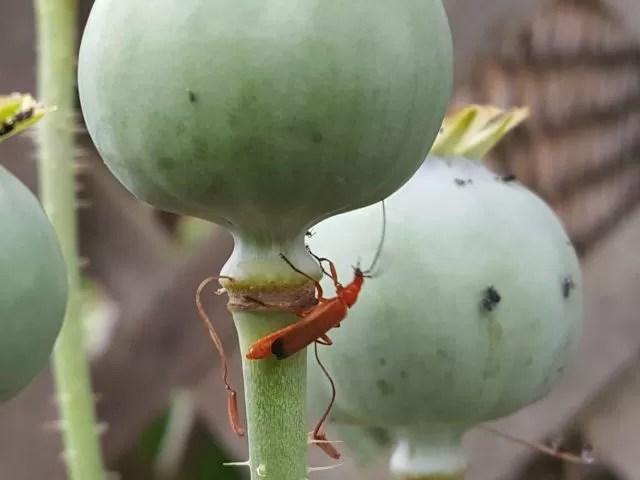 a bug on poppy seed heads
