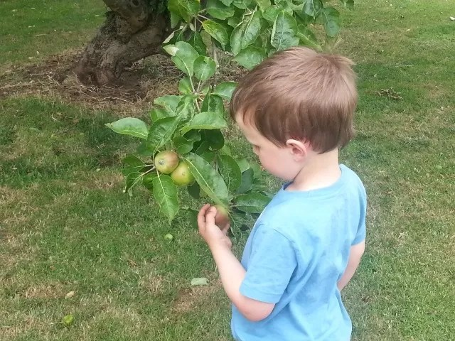 checking the apple growth