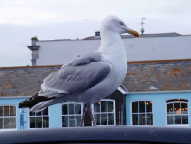 Seagull overseeing Weymouth harbour
