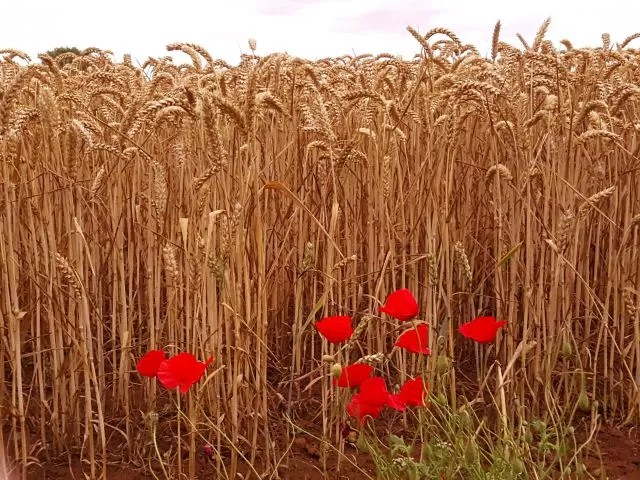 Silent Sunday poppies against wheat field