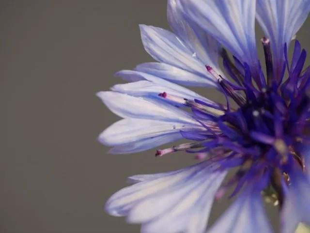 beautiful cornflower macro